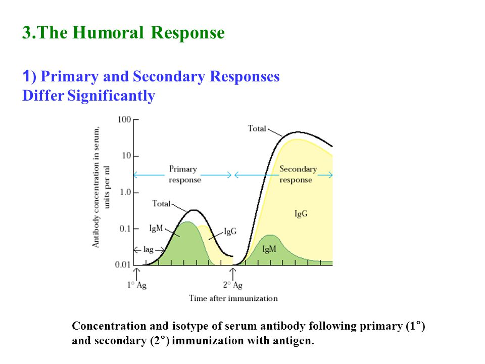 3.The Humoral Response 1 ) Primary and Secondary Responses Differ Significantly Concentration and isotype of serum antibody following primary (1°) and secondary (2°) immunization with antigen.
