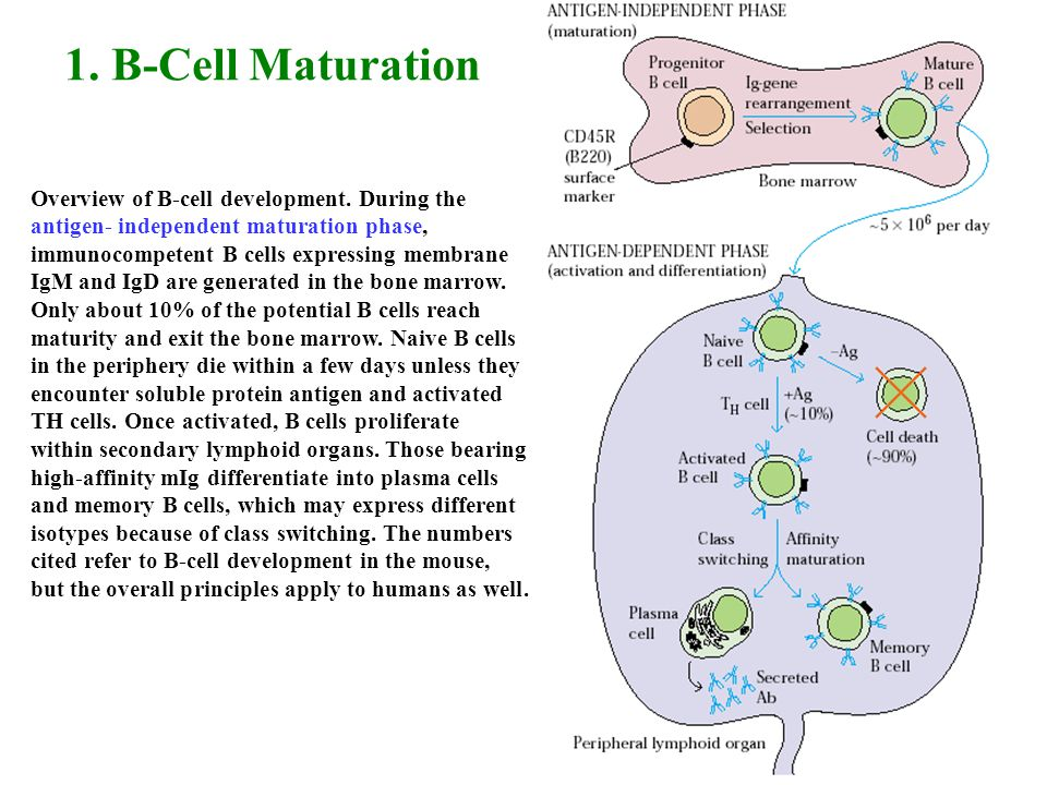 1. B-Cell Maturation Overview of B-cell development. During the antigen- independent maturation phase, immunocompetent B cells expressing membrane IgM