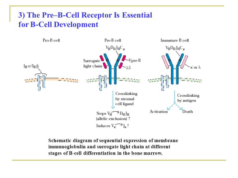 3) The Pre–B-Cell Receptor Is Essential for B-Cell Development Schematic diagram of sequential expression of membrane immunoglobulin and surrogate lig