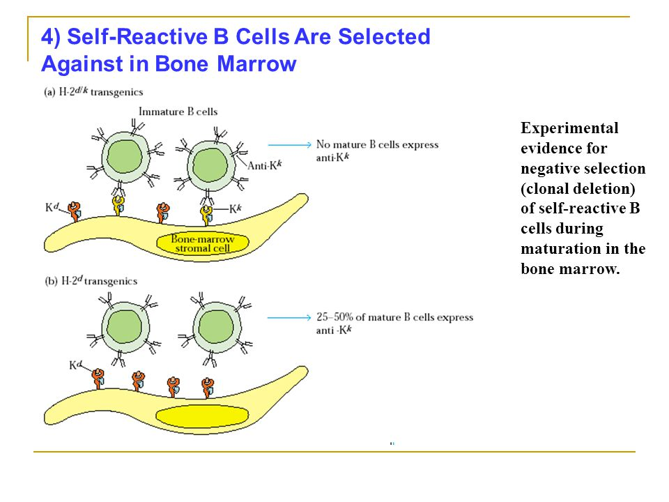 4) Self-Reactive B Cells Are Selected Against in Bone Marrow Experimental evidence for negative selection (clonal deletion) of self-reactive B cells during maturation in the bone marrow.