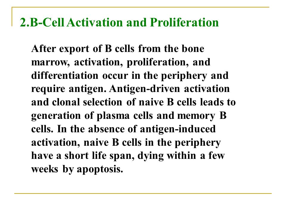 2.B-Cell Activation and Proliferation After export of B cells from the bone marrow, activation, proliferation, and differentiation occur in the periph