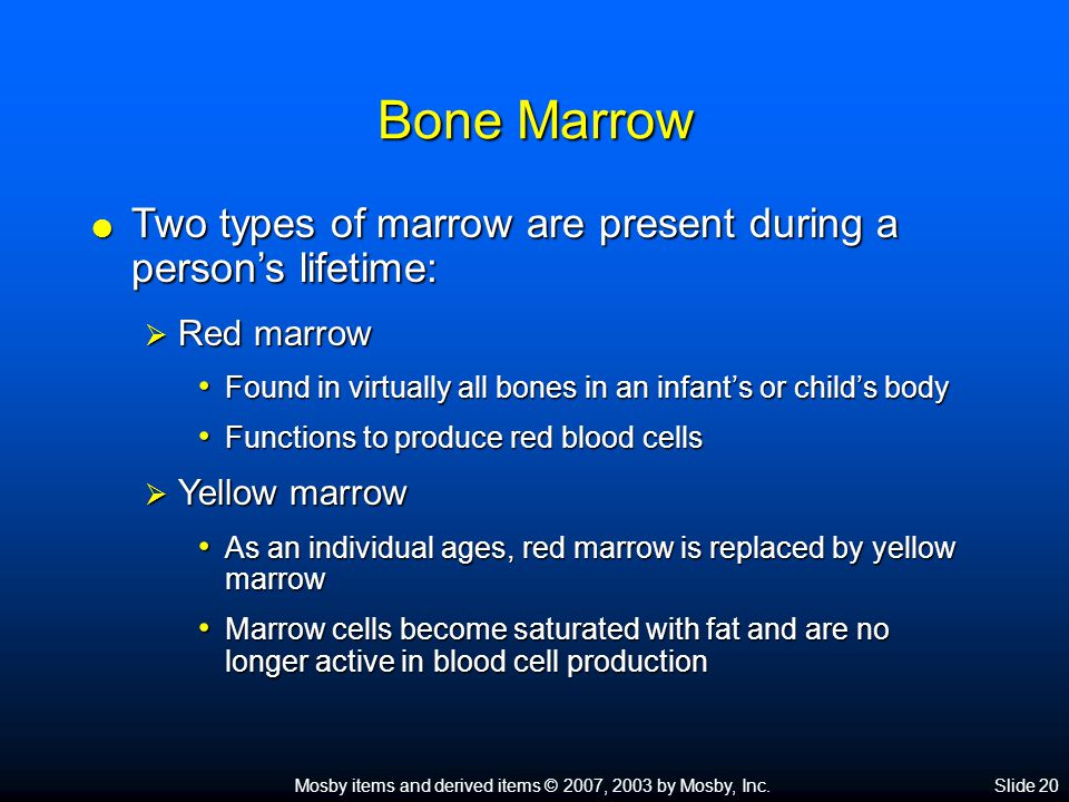 Mosby items and derived items © 2007, 2003 by Mosby, Inc.Slide 20 Bone Marrow  Two types of marrow are present during a person's lifetime:  Red marrow Found in virtually all bones in an infant's or child's body Found in virtually all bones in an infant's or child's body Functions to produce red blood cells Functions to produce red blood cells  Yellow marrow As an individual ages, red marrow is replaced by yellow marrow As an individual ages, red marrow is replaced by yellow marrow Marrow cells become saturated with fat and are no longer active in blood cell production Marrow cells become saturated with fat and are no longer active in blood cell production