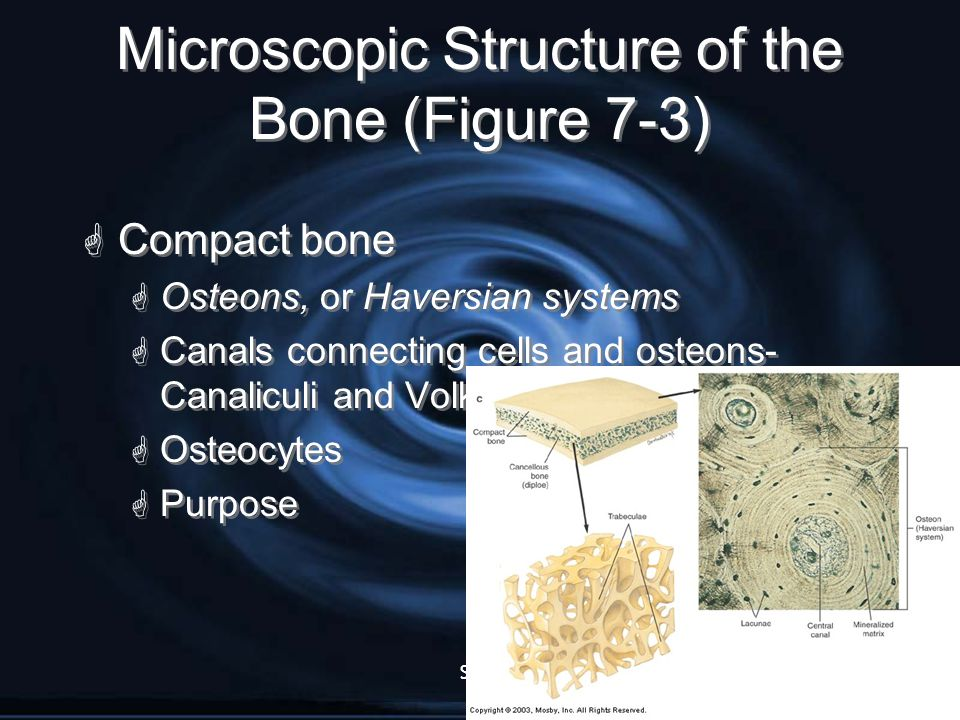 Slide10 Microscopic Structure of the Bone (Figure 7-3)  Compact bone  Osteons, or Haversian systems  Canals connecting cells and osteons- Canalicul