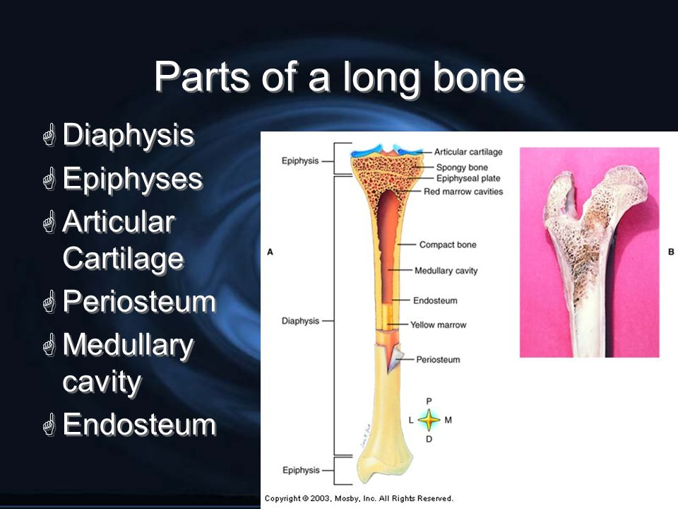 Slide5  Diaphysis  Epiphyses  Articular Cartilage  Periosteum  Medullary cavity  Endosteum  Diaphysis  Epiphyses  Articular Cartilage  Perio
