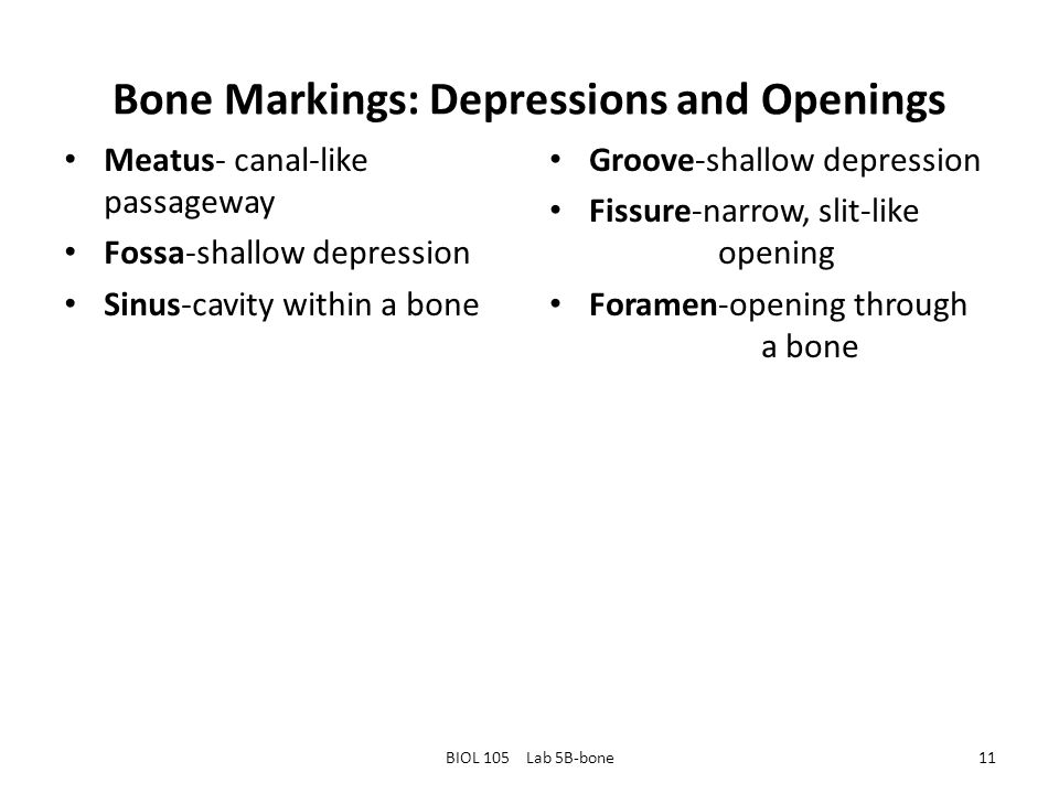 Bone Markings: Depressions and Openings Meatus- canal-like passageway Fossa-shallow depression Sinus-cavity within a bone Groove-shallow depression Fissure-narrow, slit-like opening Foramen-opening through a bone BIOL 105 Lab 5B-bone11