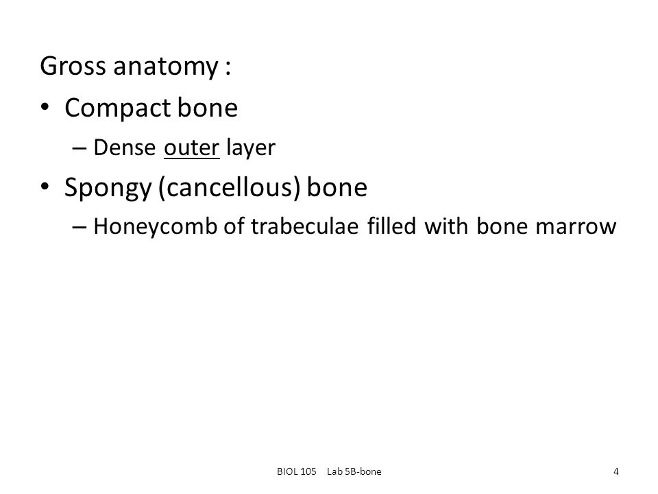 Gross anatomy : Compact bone – Dense outer layer Spongy (cancellous) bone – Honeycomb of trabeculae filled with bone marrow BIOL 105 Lab 5B-bone4