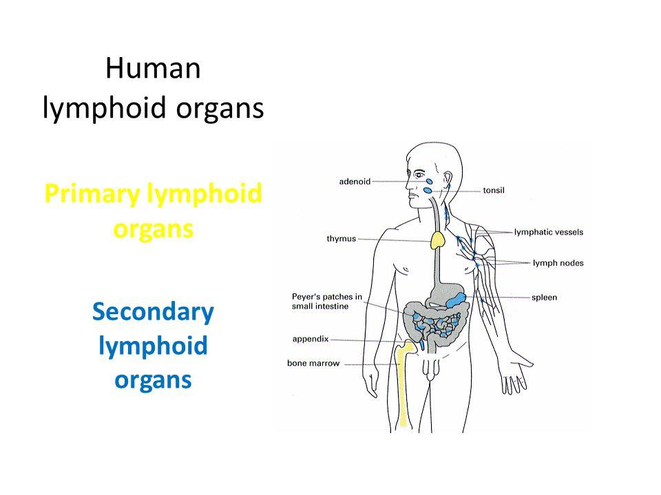 Human lymphoid organs Primary lymphoid organs Secondary lymphoid organs