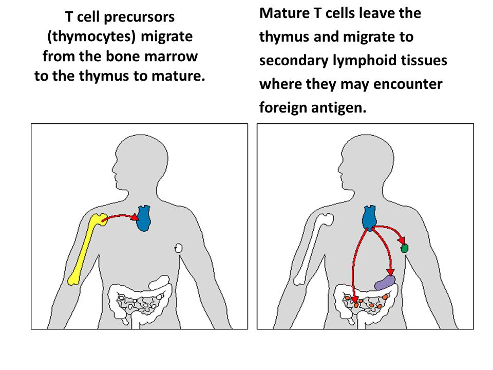 T cell precursors (thymocytes) migrate from the bone marrow to the thymus to mature.