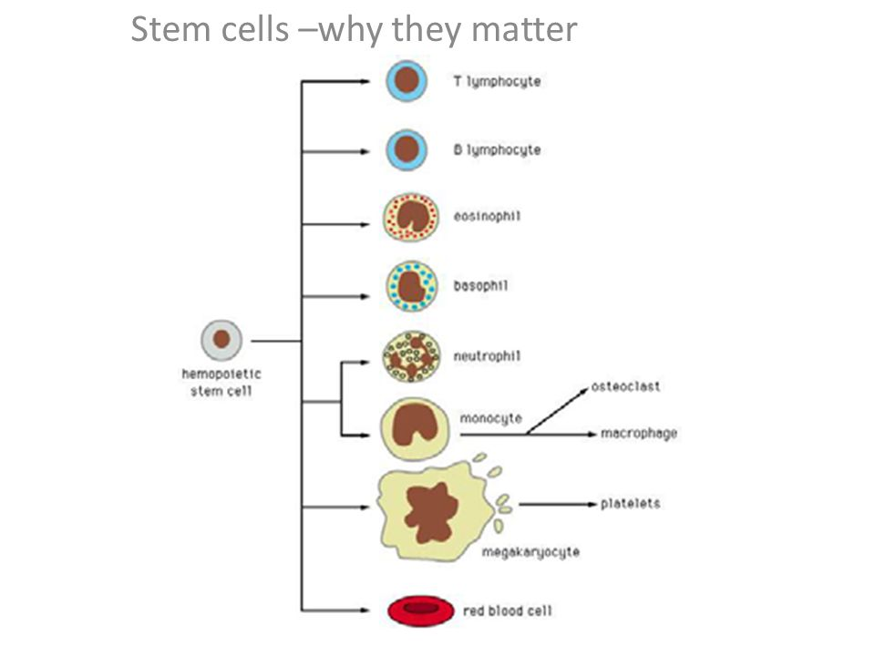 Stem cells Stem cells –why they matter