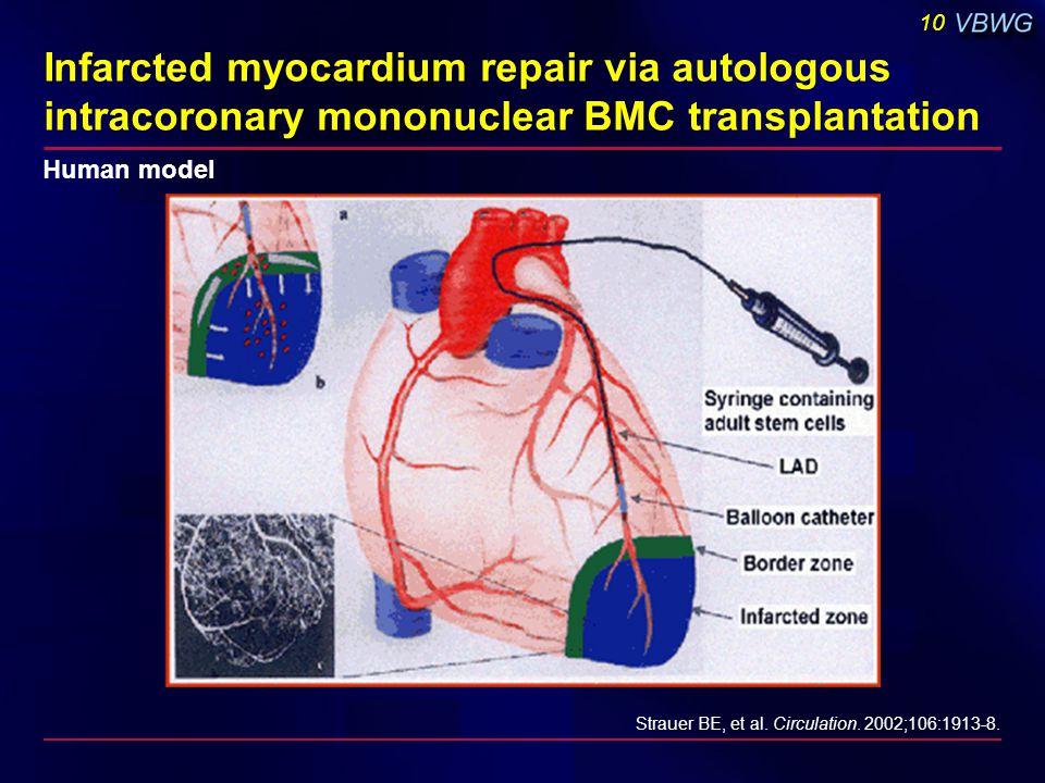 10 Infarcted myocardium repair via autologous intracoronary mononuclear BMC transplantation Strauer BE, et al. Circulation. 2002;106:1913-8. Human mod