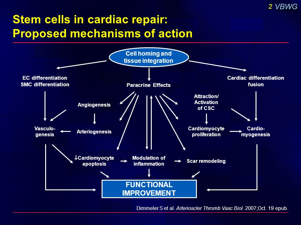 2 Dimmeler S et al. Arterioscler Thromb Vasc Biol. 2007;Oct. 19 epub. EC differentiation SMC differentiation Paracrine Effects Cardiac differentiation