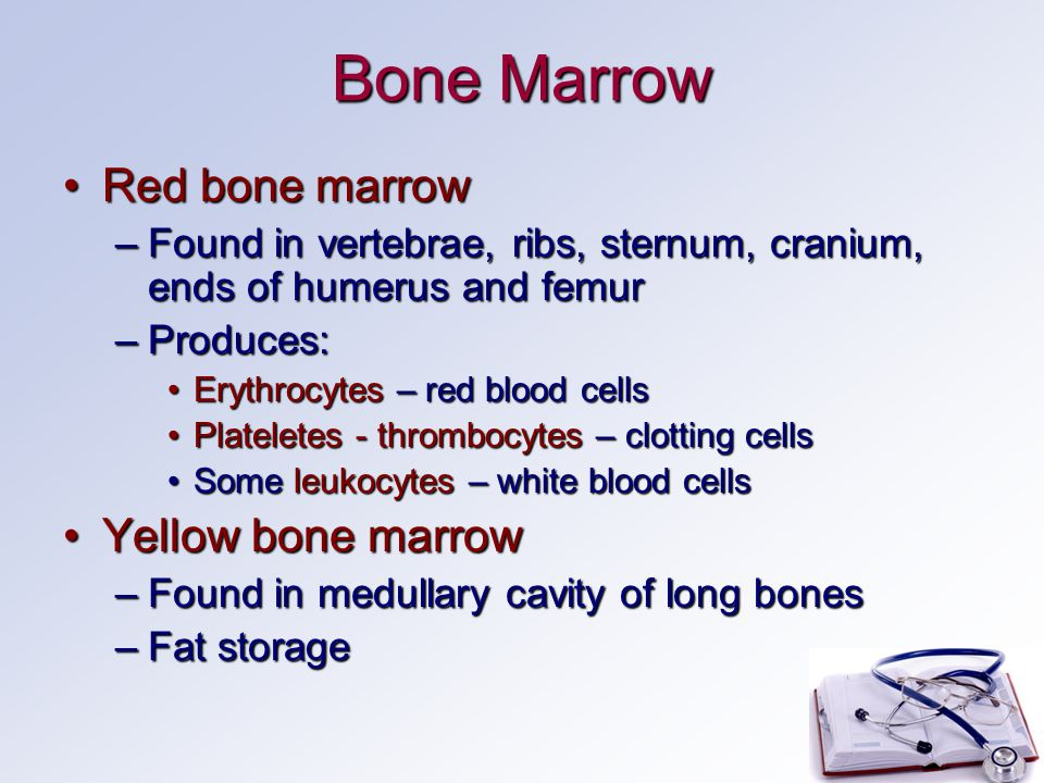Bone Marrow Red bone marrowRed bone marrow –Found in vertebrae, ribs, sternum, cranium, ends of humerus and femur –Produces: Erythrocytes – red blood cellsErythrocytes – red blood cells Plateletes - thrombocytes – clotting cellsPlateletes - thrombocytes – clotting cells Some leukocytes – white blood cellsSome leukocytes – white blood cells Yellow bone marrowYellow bone marrow –Found in medullary cavity of long bones –Fat storage