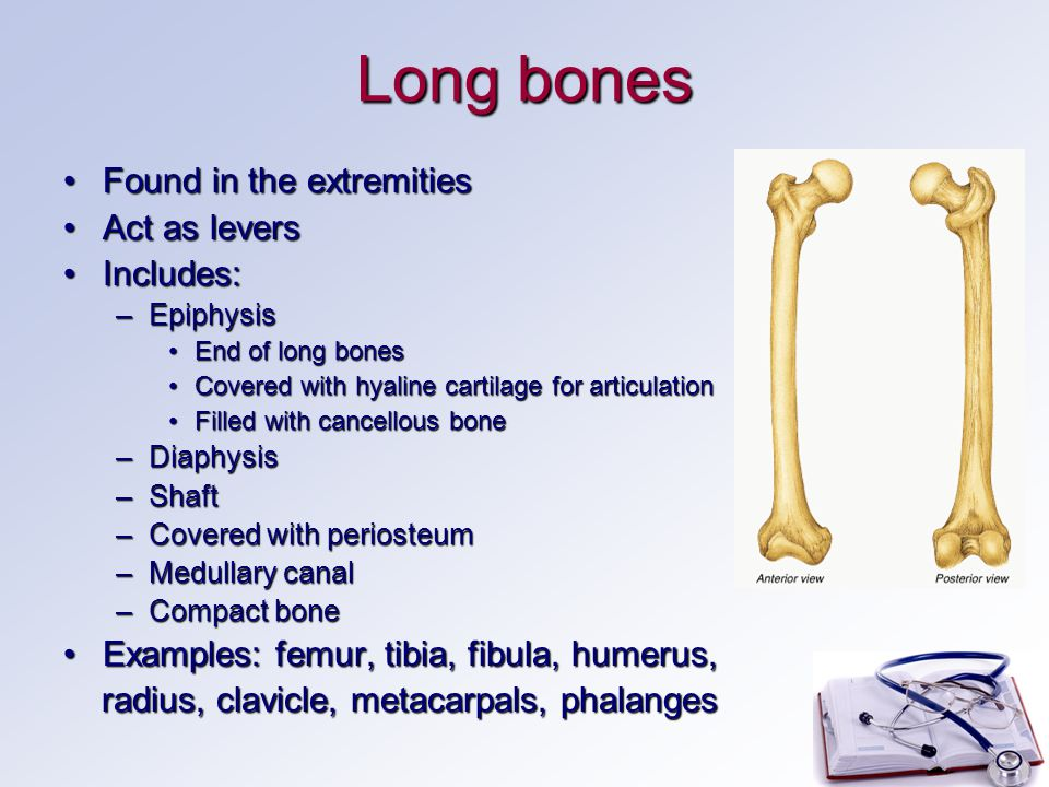 Long bones Found in the extremitiesFound in the extremities Act as leversAct as levers Includes:Includes: –Epiphysis End of long bonesEnd of long bones Covered with hyaline cartilage for articulationCovered with hyaline cartilage for articulation Filled with cancellous boneFilled with cancellous bone –Diaphysis –Shaft –Covered with periosteum –Medullary canal –Compact bone Examples: femur, tibia, fibula, humerus,Examples: femur, tibia, fibula, humerus, radius, clavicle, metacarpals, phalanges radius, clavicle, metacarpals, phalanges