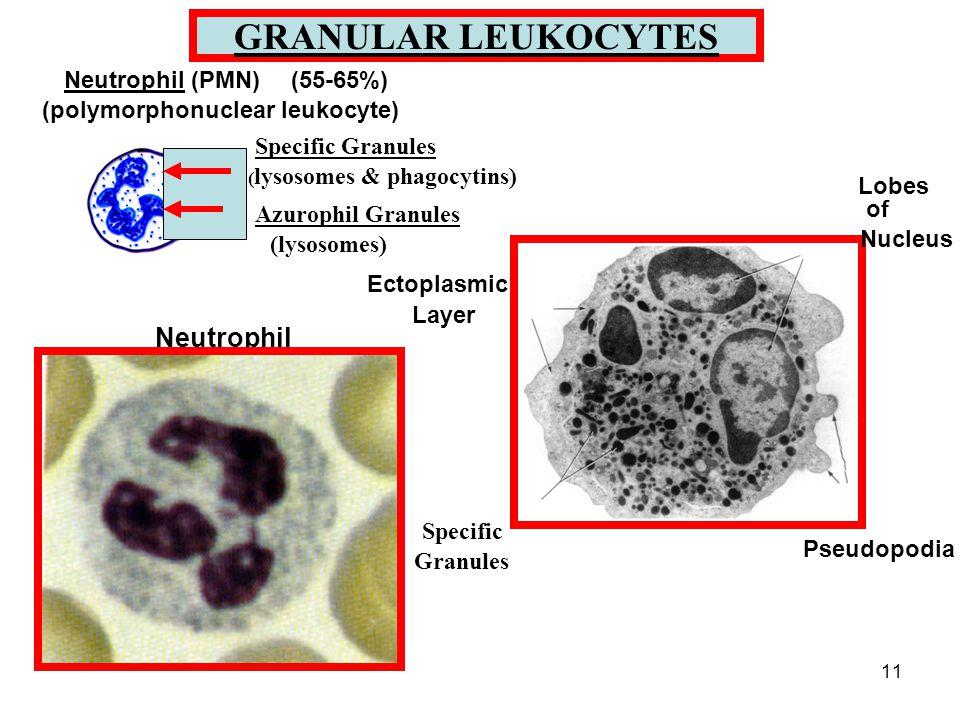 11 GRANULAR LEUKOCYTES Specific Granules ( lysosomes & phagocytins) Azurophil Granules (lysosomes) Neutrophil (PMN)(55-65%) (polymorphonuclear leukocyte) Ectoplasmic Layer Lobes of Nucleus Specific Granules Pseudopodia Neutrophil