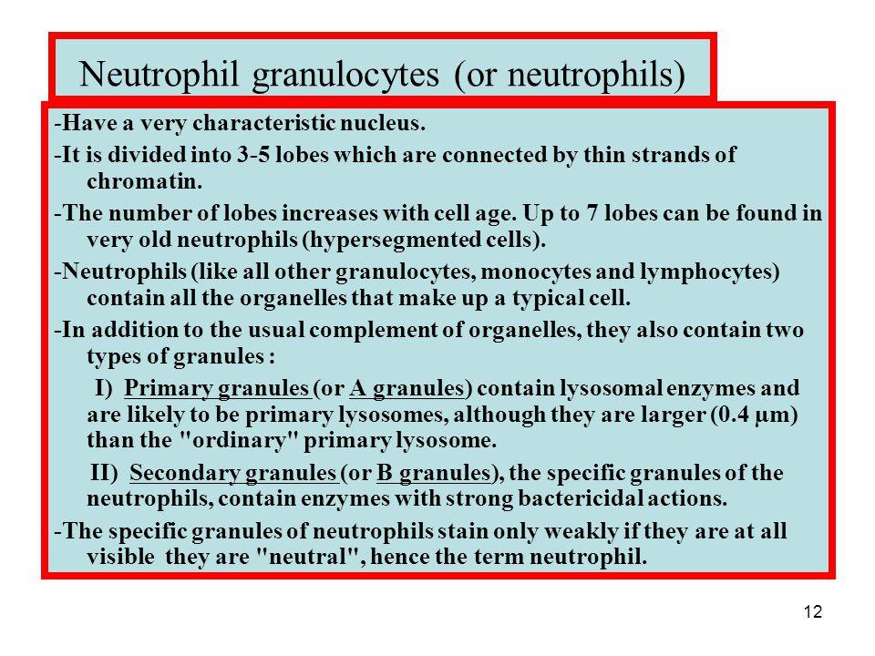 12 Neutrophil granulocytes (or neutrophils) -Have a very characteristic nucleus.