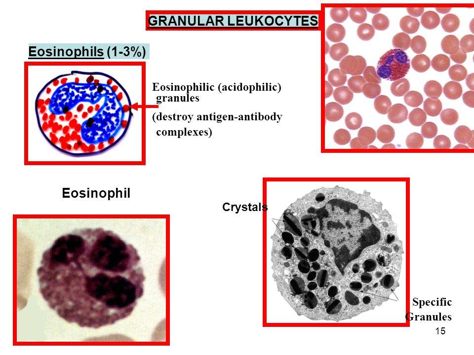 15 GRANULAR LEUKOCYTES Eosinophils (1-3%) Eosinophilic (acidophilic) granules (destroy antigen-antibody complexes) Eosinophil Crystals Specific Granules