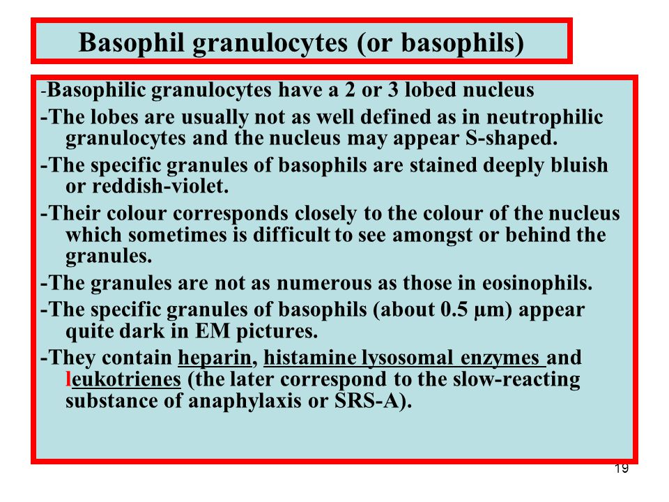 19 Basophil granulocytes (or basophils) - Basophilic granulocytes have a 2 or 3 lobed nucleus -The lobes are usually not as well defined as in neutrophilic granulocytes and the nucleus may appear S-shaped.