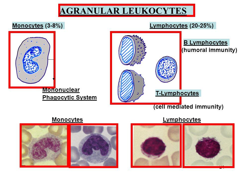 21 AGRANULAR LEUKOCYTES Monocytes (3-8%) Mononuclear Phagocytic System Lymphocytes (20-25%) B Lymphocytes (humoral immunity) T-Lymphocytes (cell mediated immunity) MonocytesLymphocytes