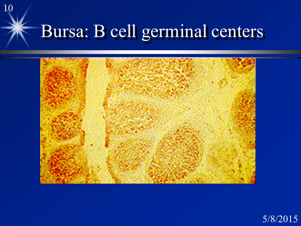 9 5/8/2015 Bursa of Fabricius: X-Section