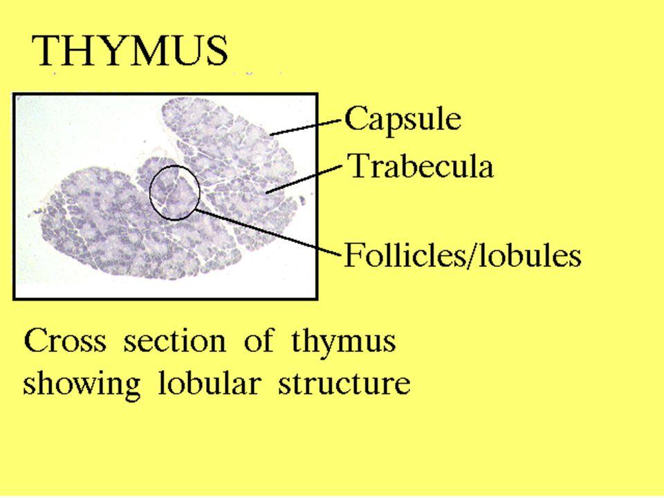 16 5/8/2015 Thymus: Location