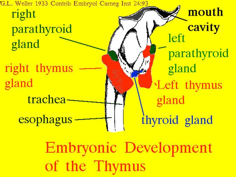 19 5/8/2015 Thymus: Development