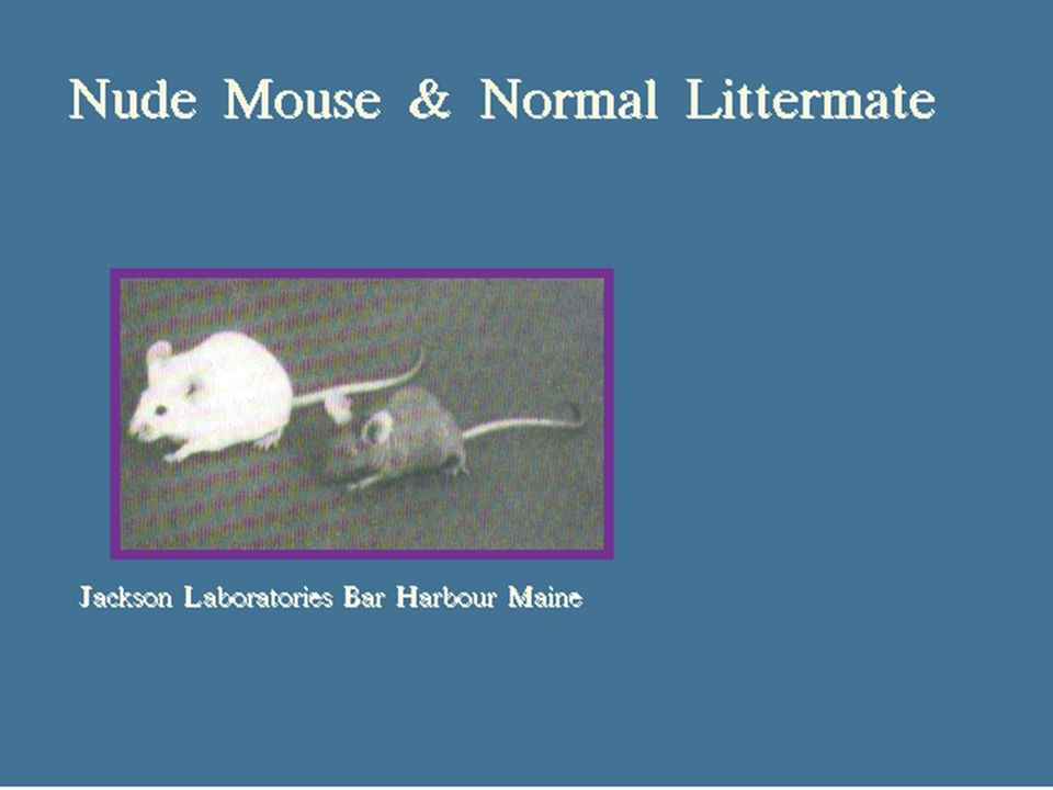"22 5/8/2015 Athymic Mouse ä ""Nude"" mouse - lacks hair follicles ä Lacks developed thymus ä few circulating T cells ä No cell mediated immunity"