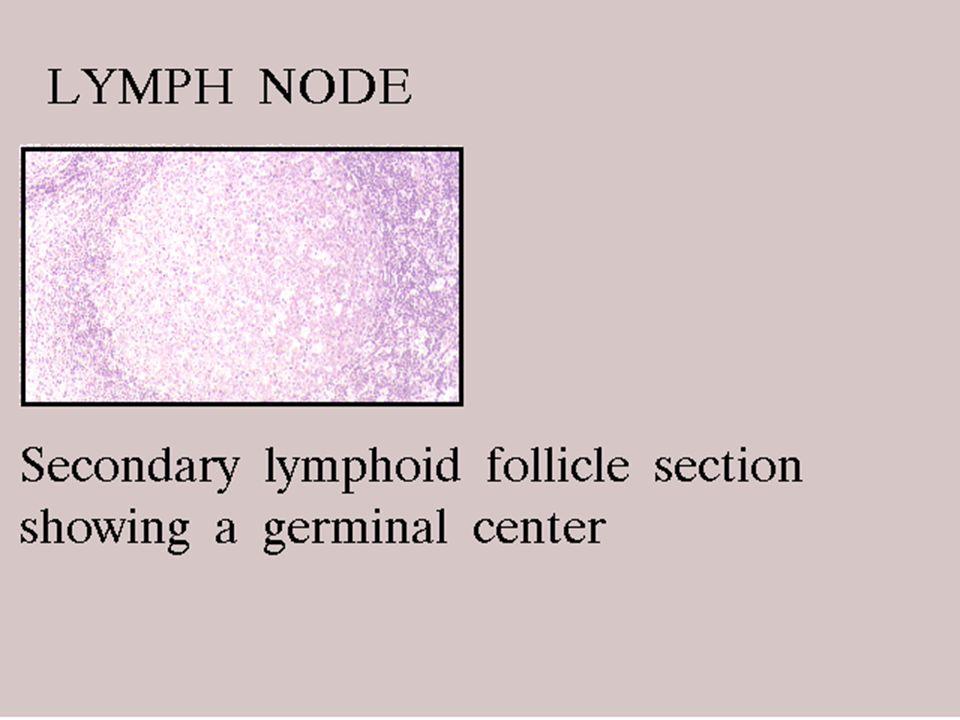 32 5/8/2015 Node: B cells in cortex