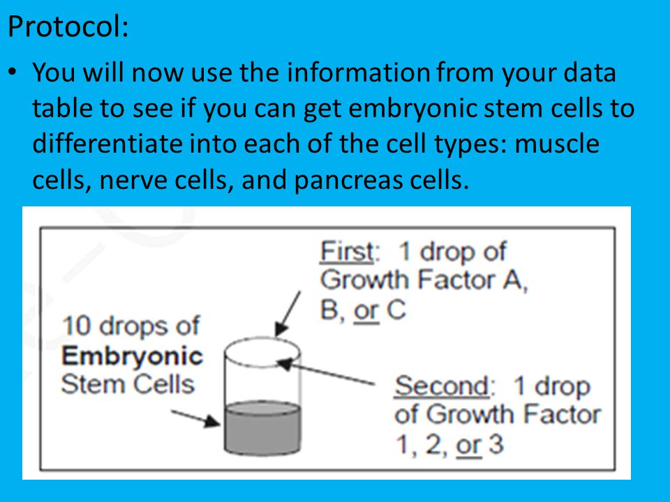 Protocol: You will now use the information from your data table to see if you can get embryonic stem cells to differentiate into each of the cell types: muscle cells, nerve cells, and pancreas cells.