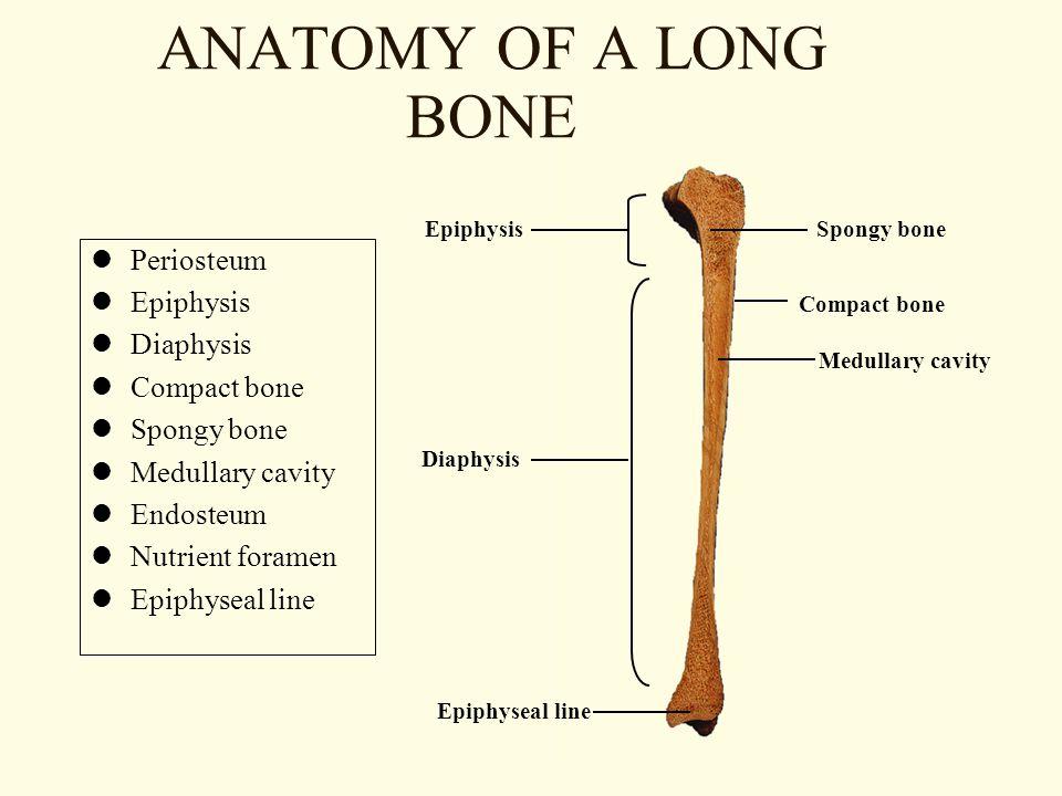 ANATOMY OF A LONG BONE Periosteum Epiphysis Diaphysis Compact bone Spongy bone Medullary cavity Endosteum Nutrient foramen Epiphyseal line Epiphysis Diaphysis Spongy bone Compact bone Medullary cavity Epiphyseal line