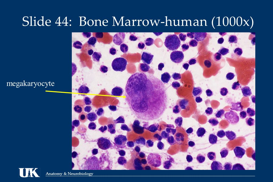 Anatomy & Neurobiology Slide 44: Bone Marrow-human (1000x) megakaryocyte