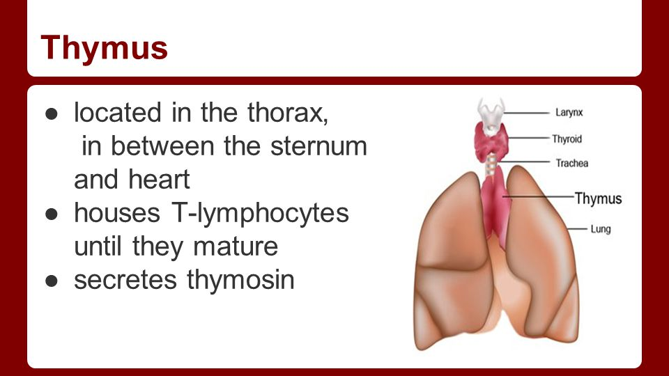 Thymus ●located in the thorax, in between the sternum and heart ●houses T-lymphocytes until they mature ●secretes thymosin
