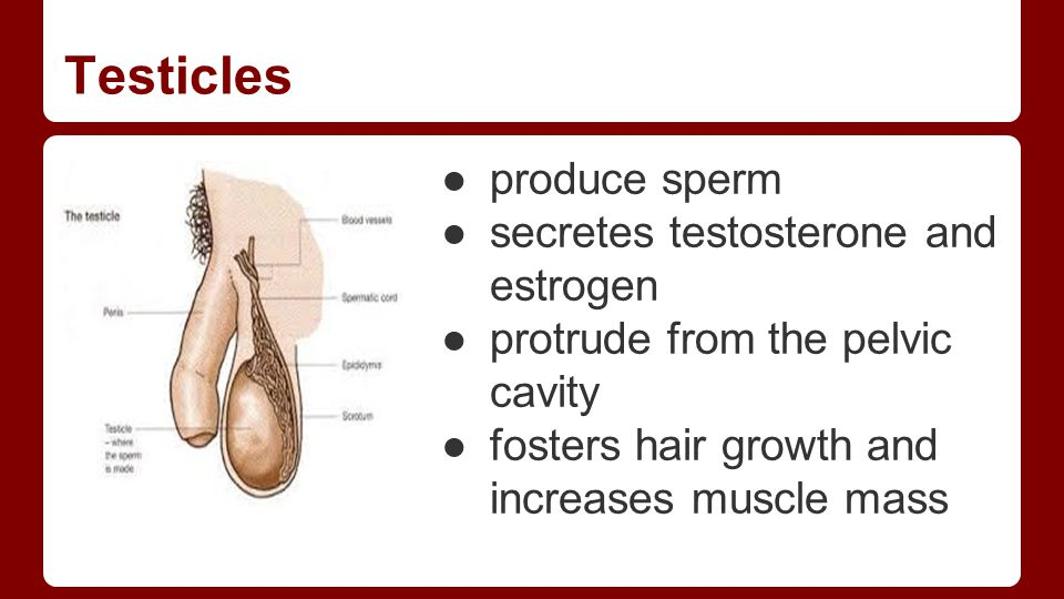 Testicles ●produce sperm ●secretes testosterone and estrogen ●protrude from the pelvic cavity ●fosters hair growth and increases muscle mass