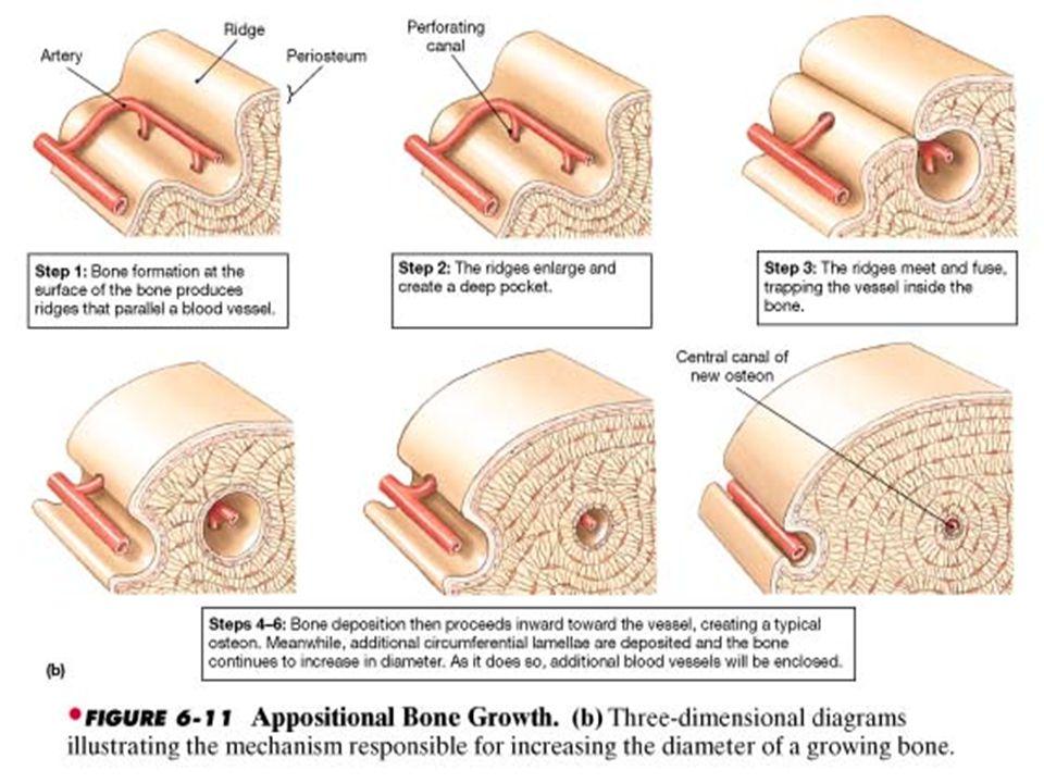 Anatomy of Bone (4 Parts) 1.Diaphysis- long, tubular shaft, mostly compact bone.