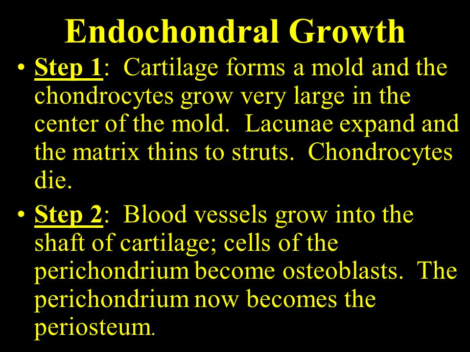Endochondral Growth Step 1: Cartilage forms a mold and the chondrocytes grow very large in the center of the mold.