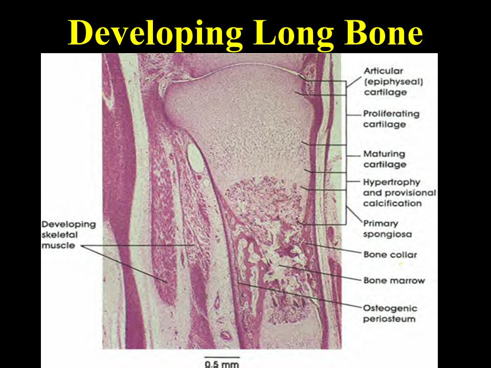 Developing Long Bone