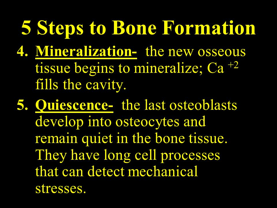 5 Steps to Bone Formation 4.Mineralization- the new osseous tissue begins to mineralize; Ca +2 fills the cavity.