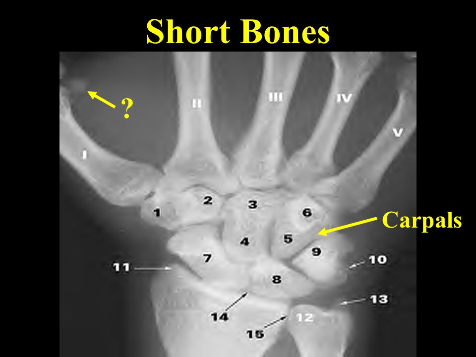 Short Bones Carpals