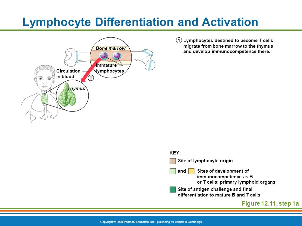 Copyright © 2009 Pearson Education, Inc., publishing as Benjamin Cummings Lymphocyte Differentiation and Activation Figure 12.11, step 1a Site of lymp