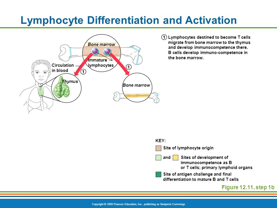 Copyright © 2009 Pearson Education, Inc., publishing as Benjamin Cummings Lymphocyte Differentiation and Activation Figure 12.11, step 1b Site of lymp