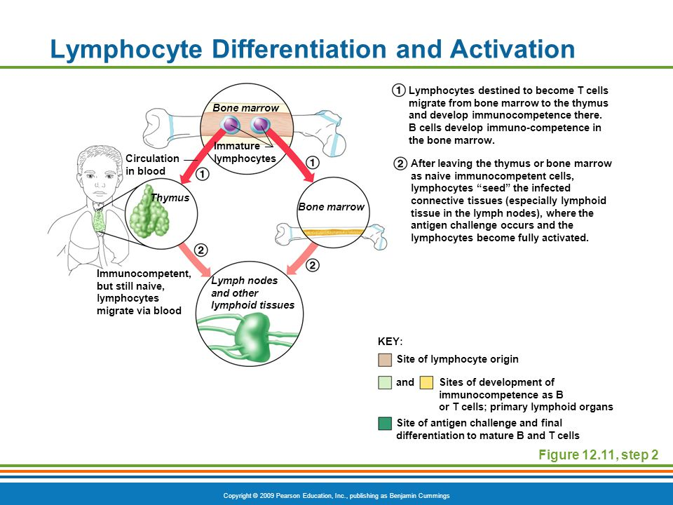 Copyright © 2009 Pearson Education, Inc., publishing as Benjamin Cummings Lymphocyte Differentiation and Activation Figure 12.11, step 2 Site of lymph