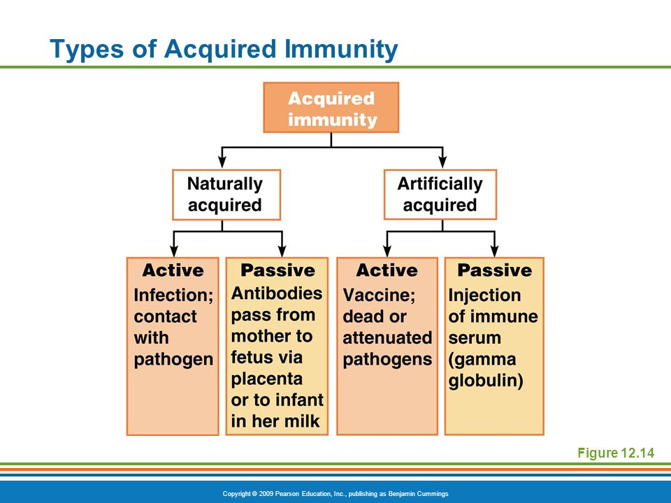Copyright © 2009 Pearson Education, Inc., publishing as Benjamin Cummings Types of Acquired Immunity Figure 12.14