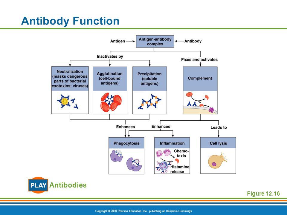 Copyright © 2009 Pearson Education, Inc., publishing as Benjamin Cummings Antibody Function Figure 12.16 Antibodies PLAY