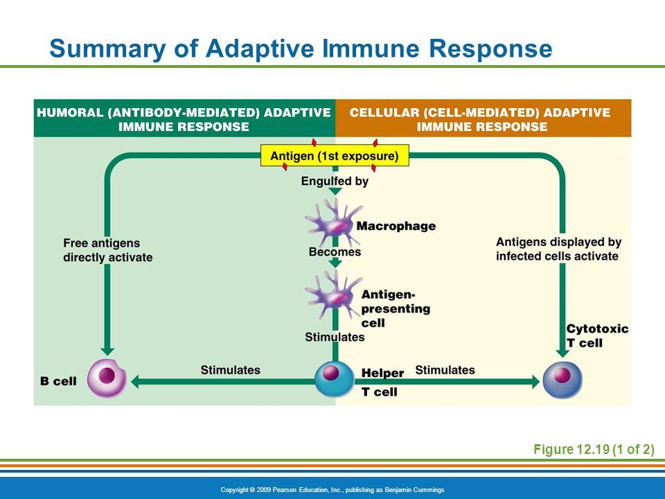Copyright © 2009 Pearson Education, Inc., publishing as Benjamin Cummings Figure 12.19 (1 of 2) Summary of Adaptive Immune Response