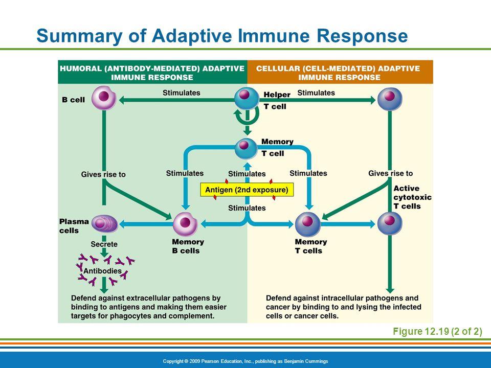 Copyright © 2009 Pearson Education, Inc., publishing as Benjamin Cummings Figure 12.19 (2 of 2) Summary of Adaptive Immune Response