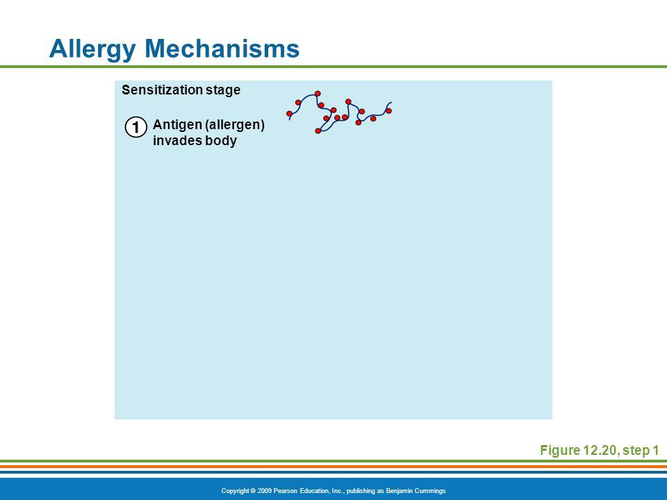 Copyright © 2009 Pearson Education, Inc., publishing as Benjamin Cummings Allergy Mechanisms Figure 12.20, step 1 Antigen (allergen) invades body Sens