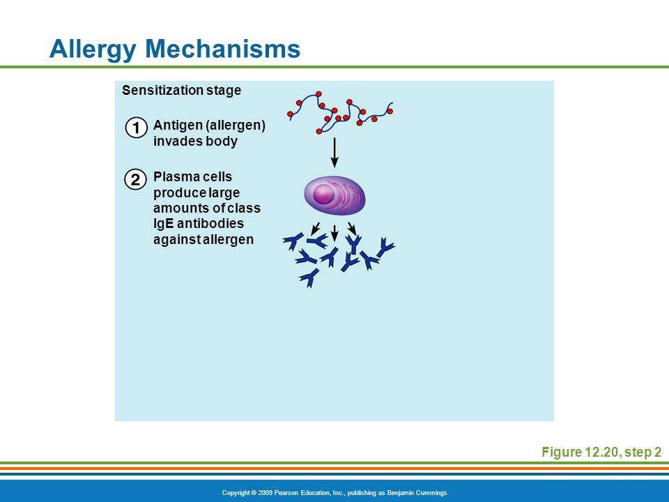 Copyright © 2009 Pearson Education, Inc., publishing as Benjamin Cummings Allergy Mechanisms Figure 12.20, step 2 Antigen (allergen) invades body Plas