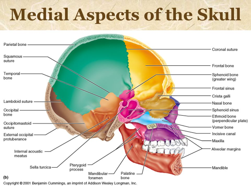 Medial Aspects of the Skull