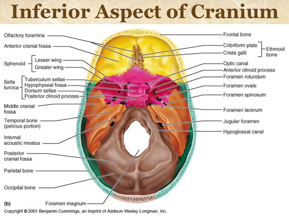 Inferior Aspect of Cranium