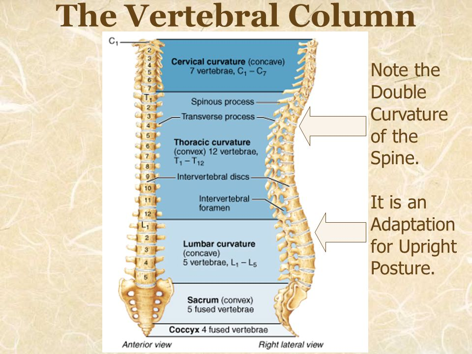 The Vertebral Column Note the Double Curvature of the Spine.