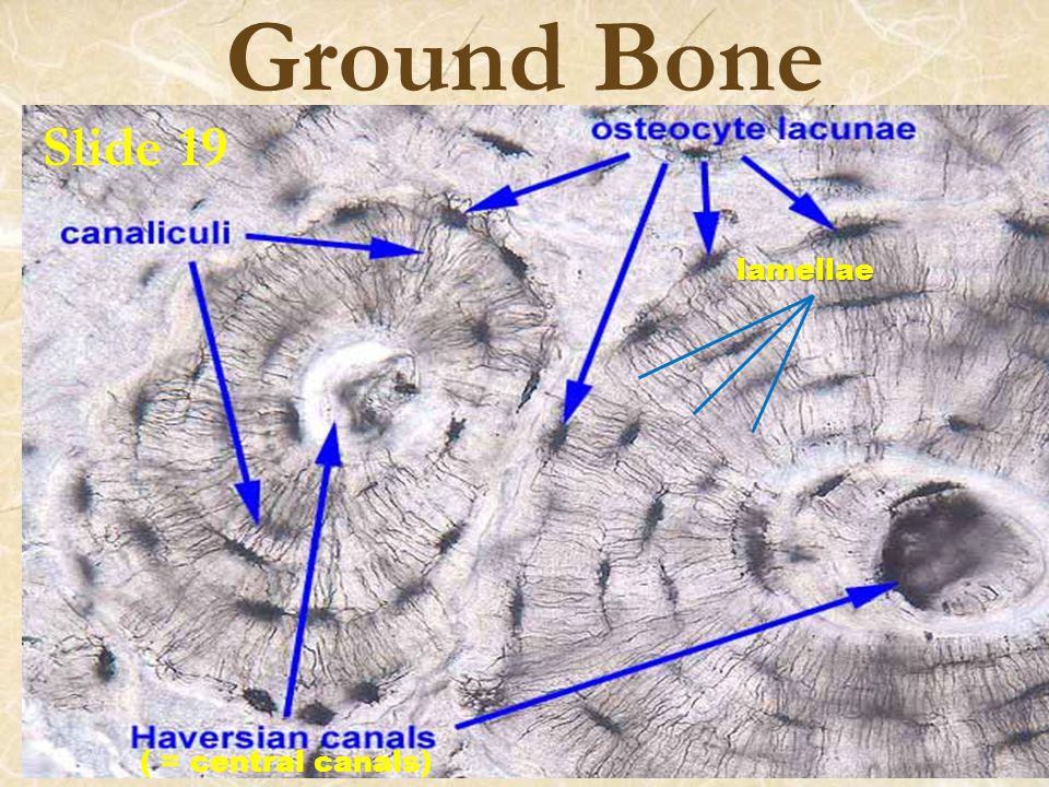Ground Bone ( = central canals) lamellae Slide 19